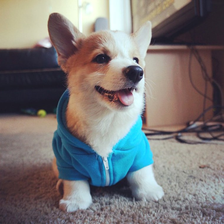 Chillin' #stumphrey #corgi #puppyFollow  http://instagram.com/corgnelius  June 1, 2013