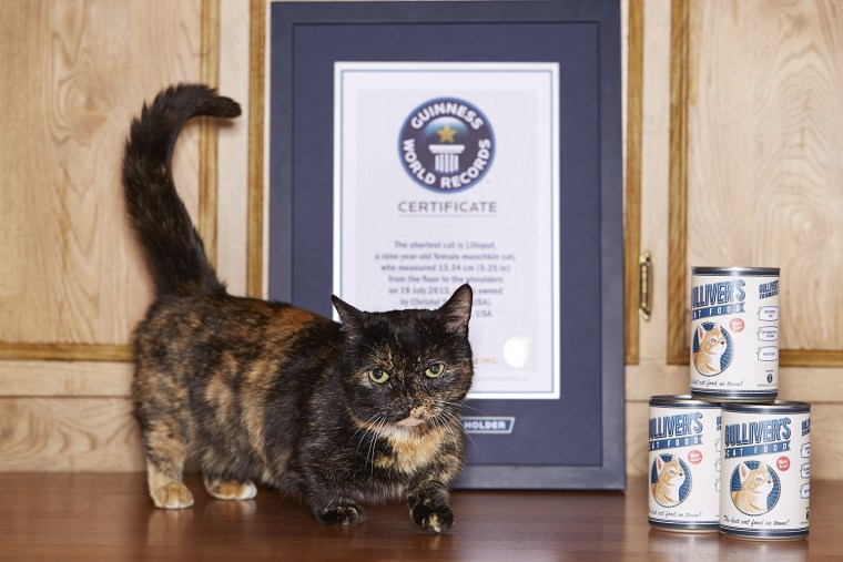 Lilieput - Shortest Cat  The shortest cat is Lilieput, a nine-year-old female munchkin cat, who measured 5.25 inches from the floor to the shoulders and is owned by Christel Young of Napa, California.
