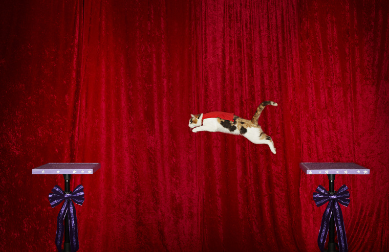 Alley - Longest Jump By A Cat  The longest jump by a cat is 6 ft. and was achieved by Alley, owned by Samantha Martin, in Austin, Texas.