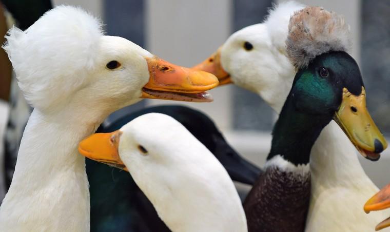 Image: GERMANY-ANIMALS-BREEDING-FAIR-DUCK