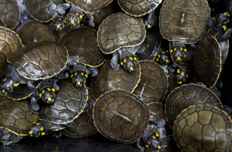 Image: Quelonios turtle hatchlings before being released, by members of the Pe-de-Pincha project, into a lake of the Momari community in the Amazon municipality Careiro
