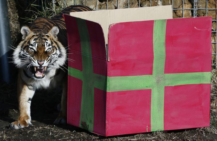 Image: Sumatran tiger Melati walks past  a present box to celebrate the first birthday of her cub triplets in their enclosure at London Zoo in London