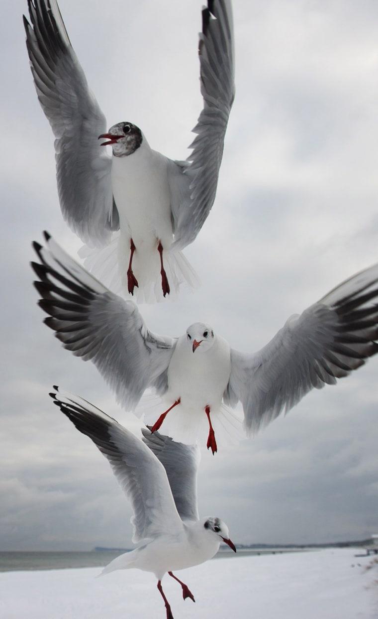 Image: GERMANY-ANIMALS-SEAGULLS