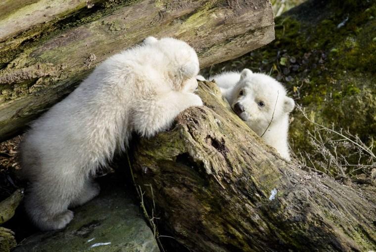 Image: Polar bears in Rhenen Zoo
