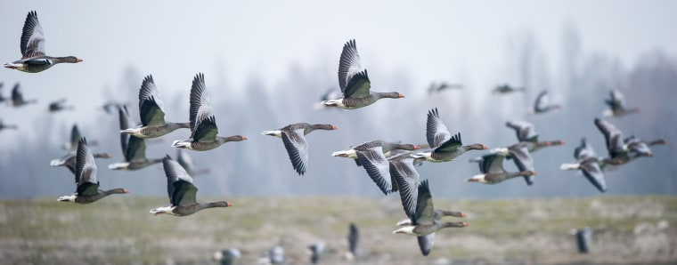 Image: GERMANY-ANIMALS-GEESE
