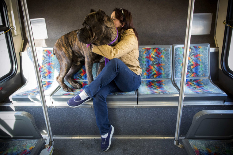 Image: Crom, an Italian Mastiff, rides a the bus with Terry Dragan following competition at the 139th Westminster Kennel Club Dog Show in Manhattan, New York
