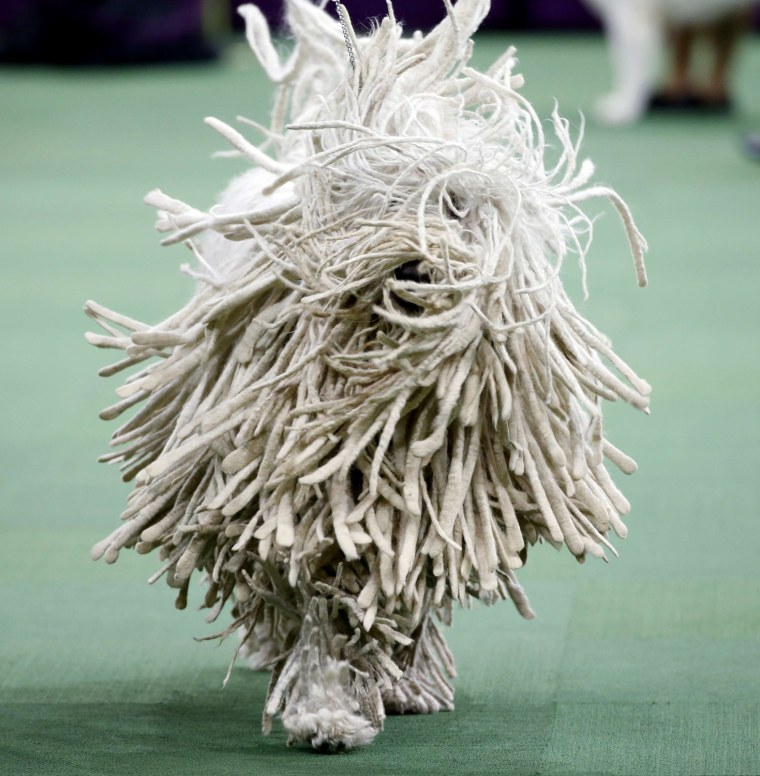 Image: A Komondor runs during competition in the Working Group, at the139th Westminster Kennel Club Dog Show, at Madison Square Garden in the Manhattan borough of New York