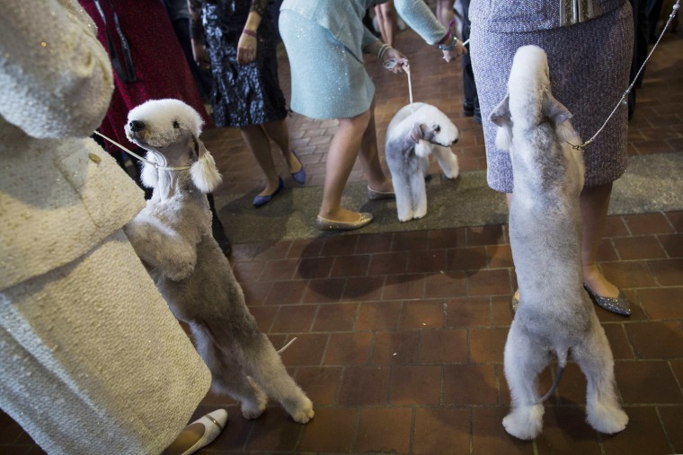Image: Bedlington Terriers line up for judging during the 139th Westminster Kennel Club's Dog Show in Manhattan, New York