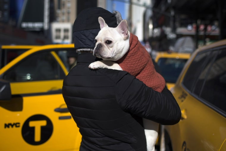 Image: Luke, a French Bulldog is carried by his owner Paul from New York City outside the Pennsylvania Hotel in New York City ahead of the139th Westminster Kennel Club's Annual Dog Show in the Manhattan borough of New York