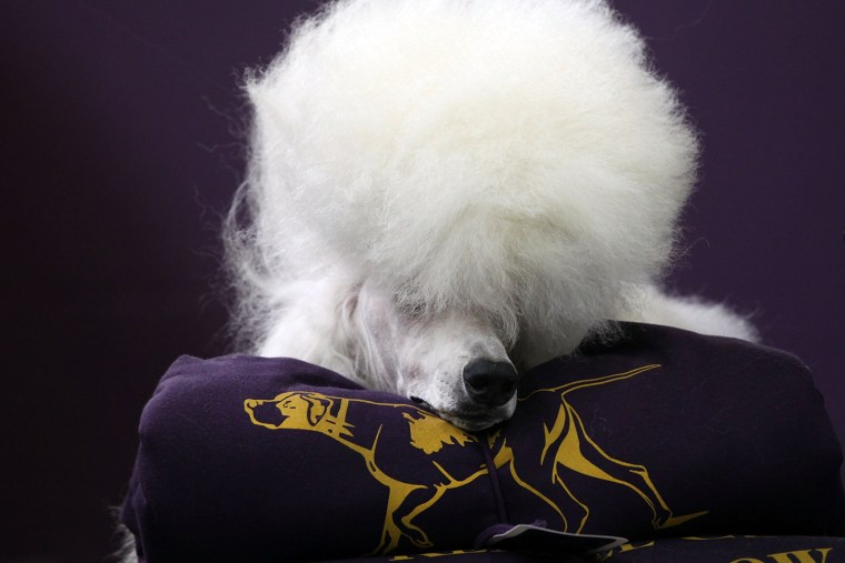 Image: Dogs Compete In The 139th Annual Westminster Kennel Club Dog Show