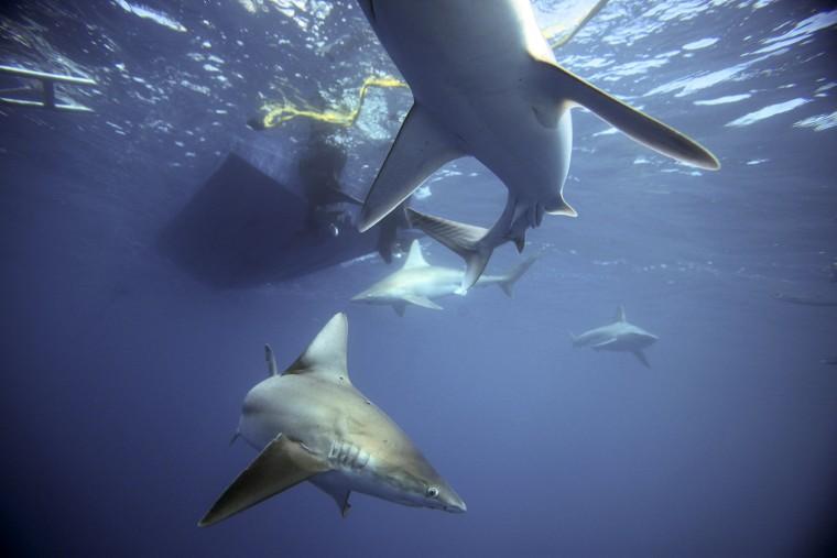 Image: Sandbar sharks swim around during a cageless shark dive tour in Haleiwa, Hawaii