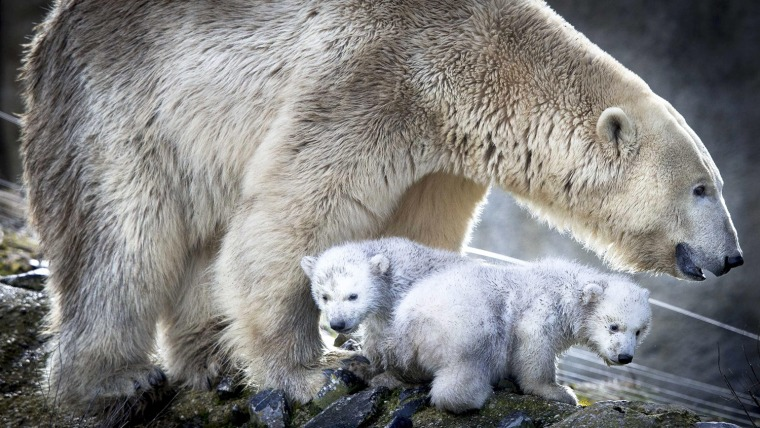 Image: Polar bear twins at Rotterdam zoo