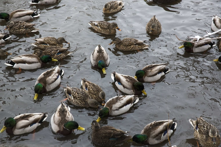 Image: Ducks swim inside of a pond in Central Park after a fresh snowfall in New York