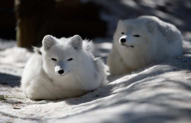 Image: Artic Foxes at Stone Zooe