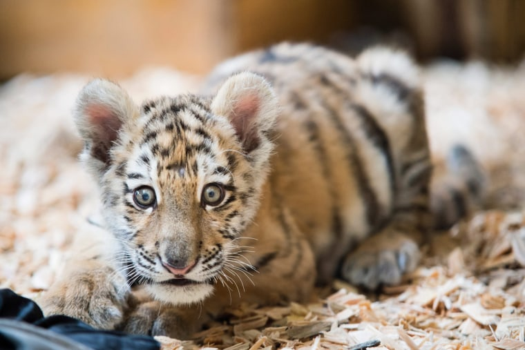 Image: Baby tiger moves house