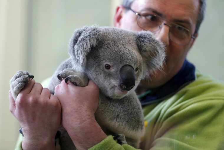 Image: A staff holds a koala bear as is shown to the public for the first time at the zoo in Budapest