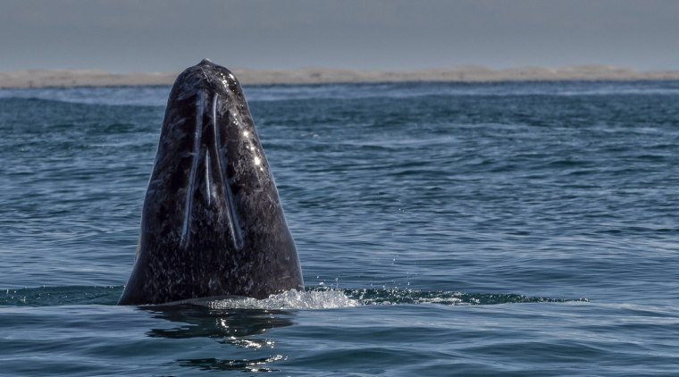 Image: MEXICO-NATURE-WHALES