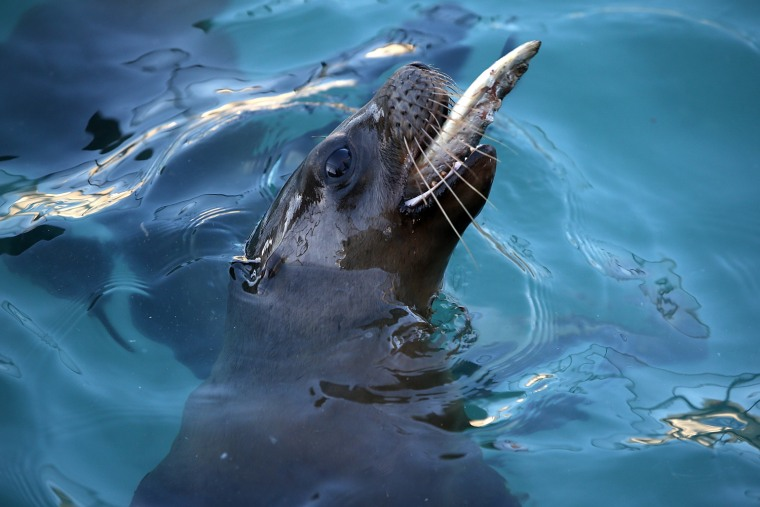 Image: Malnourished Sea Lions Continued To Be Rescued Off California Shores