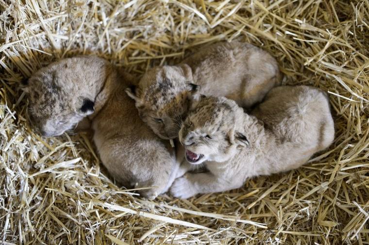 Image: Lion cubs at Hungarian zoo