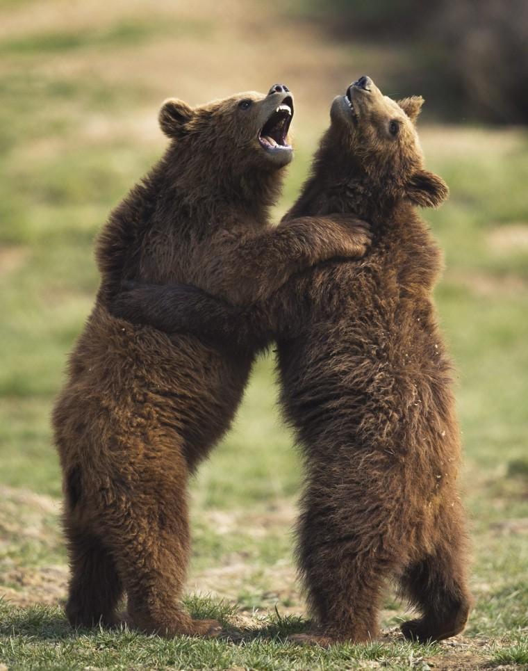 Image: Brown bear in bear sanctuary