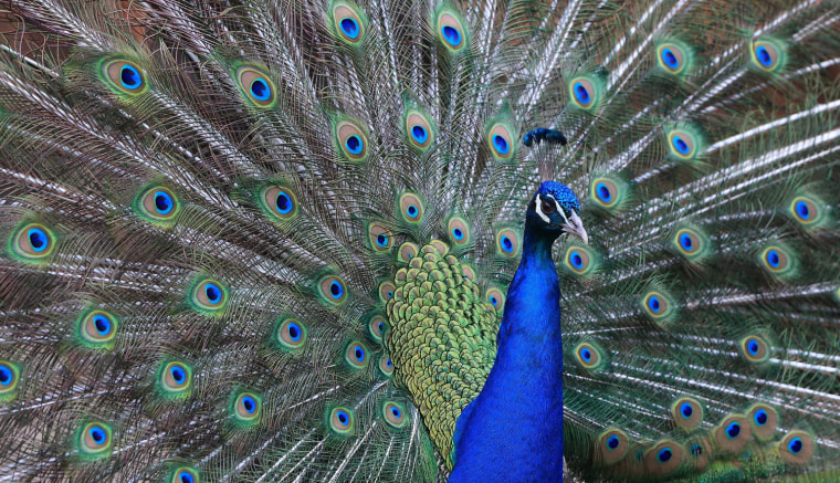 Image: Peacock in zoo