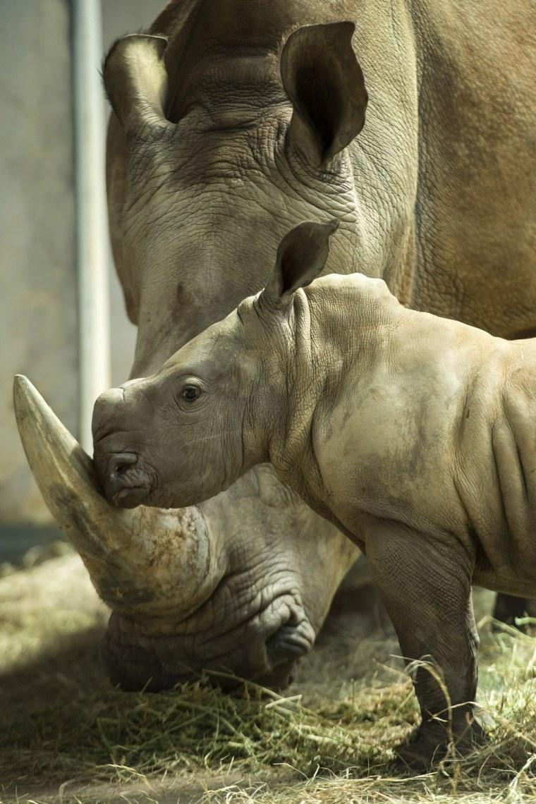 Image: New Baby Girl Rhino Born At Disney's Animal Kingdom