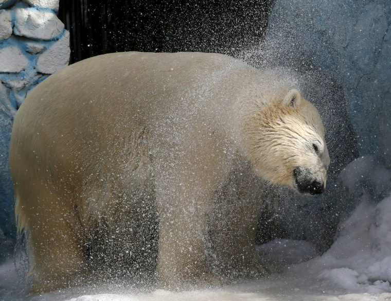 Image: Felix, a 9-year-old male polar bear, shakes off water after swimming in a pool for the first time after winter at the Royev Ruchey zoo in a suburb of Russia's Siberian city of Krasnoyarsk