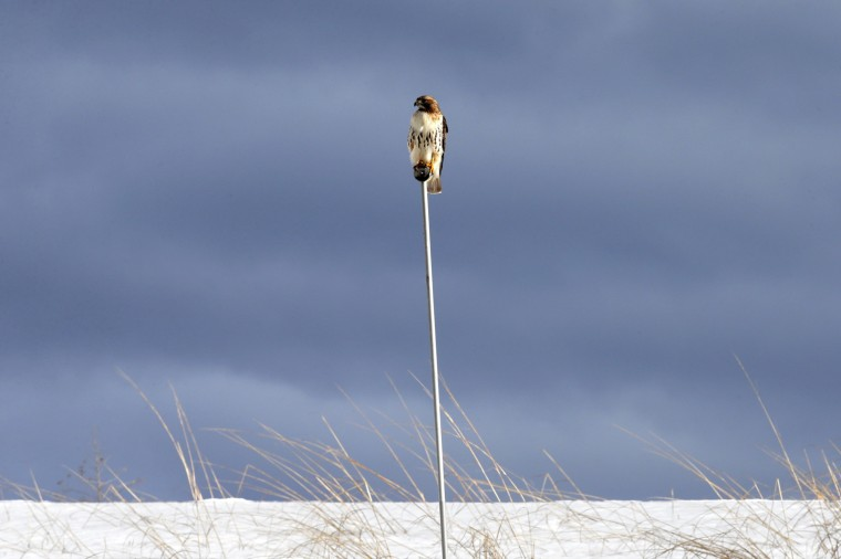 Image: A Red-tailed Hawk sits on a pole above a field of snow near Croton Point in the town of Croton-on-Hudson, New York