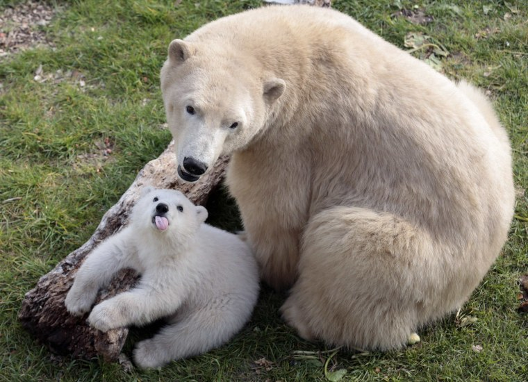 Image: Hope, a four month baby bear, plays with its mother Flocke at the Marineland animal park in Antibes