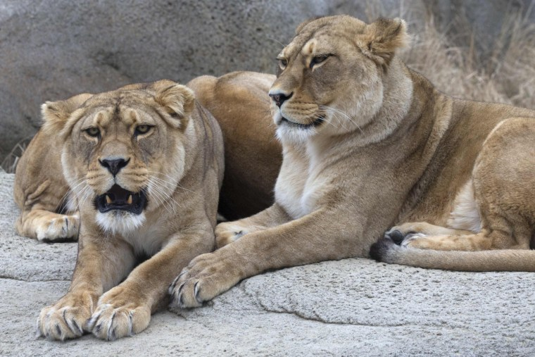 Image: Lionesses rest in their pen at the Paris Zoological Park in the Bois de Vincennes in the east of Paris