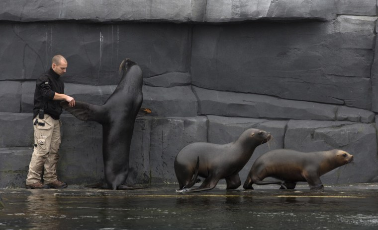 Image: Paris zoo veterinarian Bastien Servieres works with a sea lion to acclimate it to his presence during a training session at the Paris Zoological Park in the Bois de Vincennes in the east of Paris