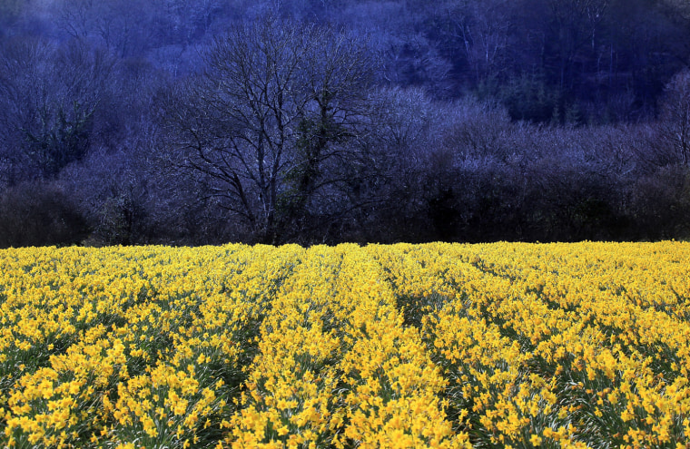 Image: BESTPIX  Daffodils Are Harvested In Cornwall