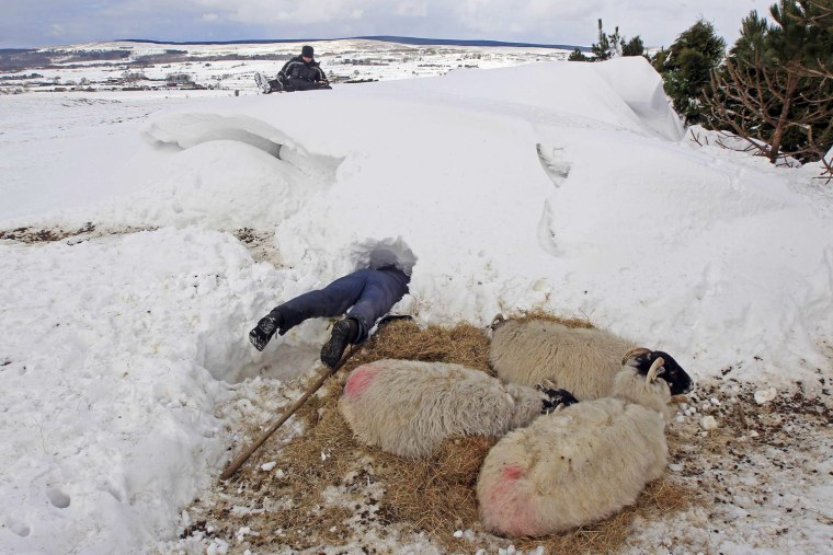 Image: Donald O'Reilly searches for sheep or lambs trapped in a snow drift near weakened animals that had just been rescued, in the Aughafatten area of County Antrim