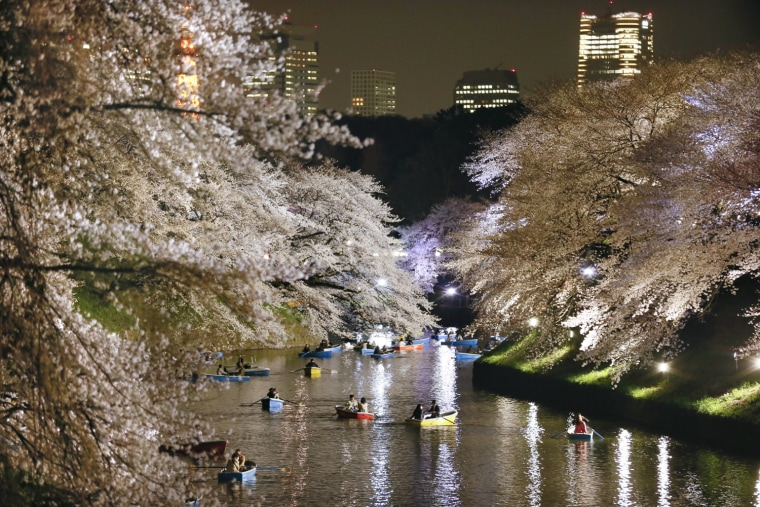 Image: Night view of cherry blossom