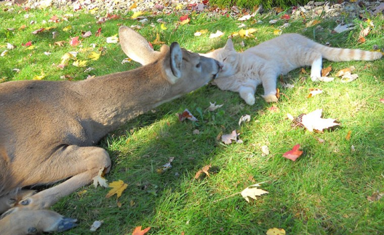 A Harrisburg, Pennsylvania resident reports that her cat has struck up a special friendship with the neighboring wildlife, according to Lovemeow.com. Every morning, a local deer visits the cat, who reciprocates by grooming the much larger animal.  The deer expresses its affection by licking the friendly feline.