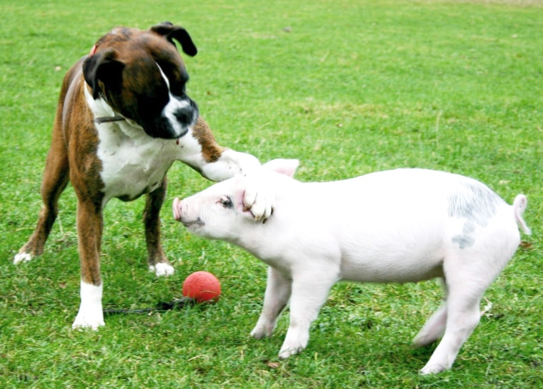 Dog and Pig are best friends