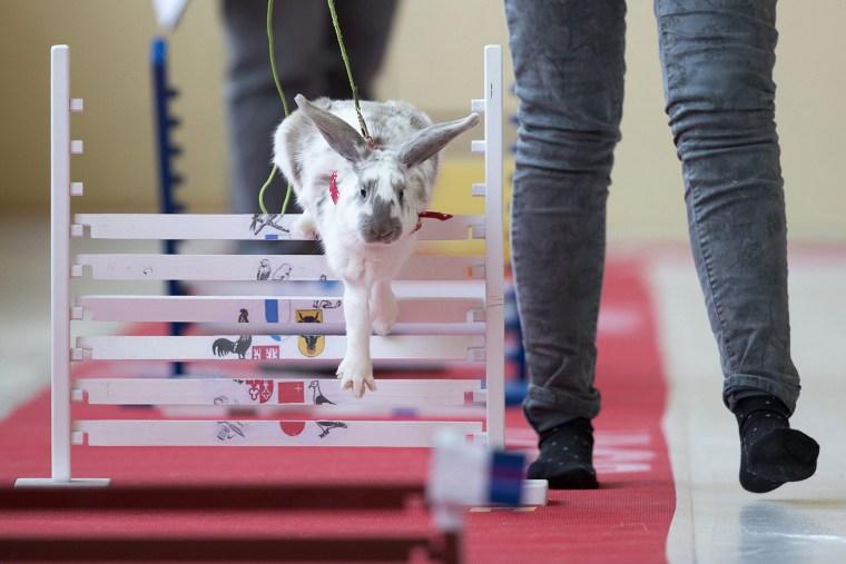 Image: Swiss rabbit exhibiton