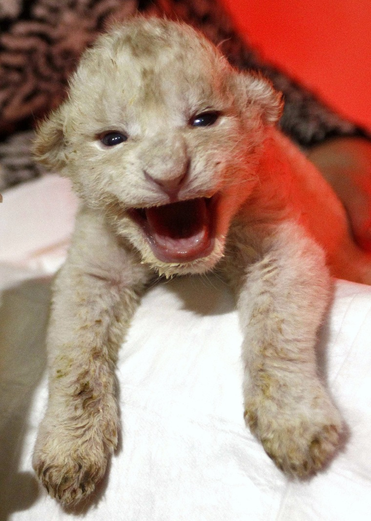 Image: A zoo employee holds a six-day-old white lion cub at the zoo in Tbilisi