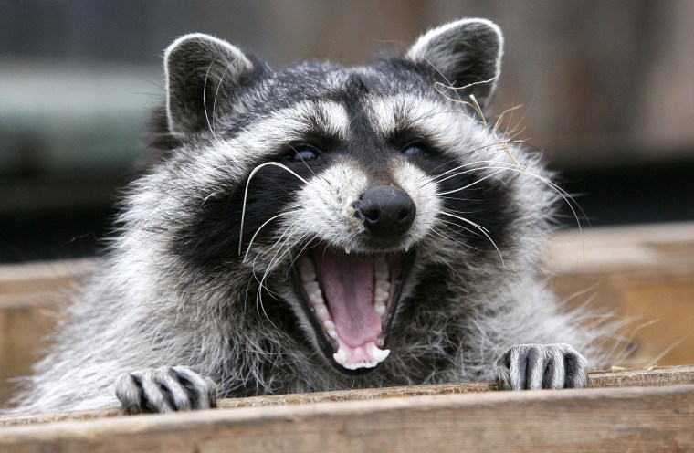 Image: Masha, a female raccoon, yawns in her wooden refuge inside an open-air cage where she hibernates at the Royev Ruchey zoo in Krasnoyarsk