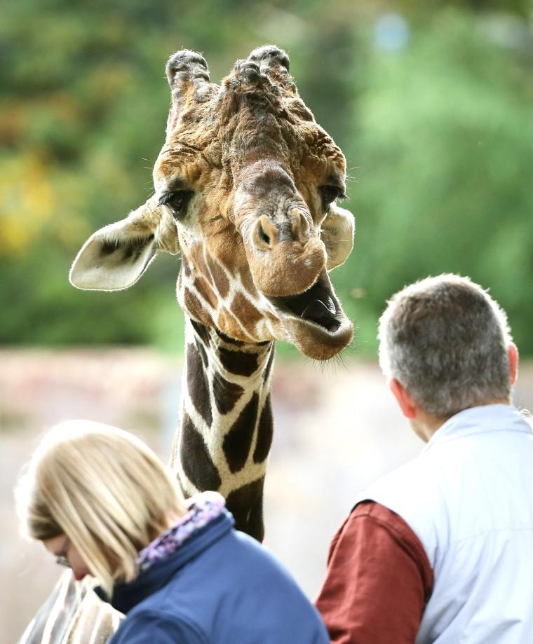 Image: Curious giraffe in zoo in Duisburg.