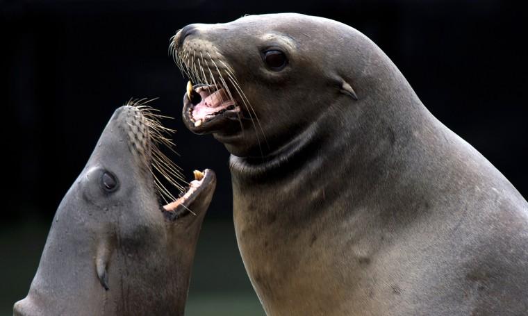 Image: US-ANIMALS-SEA LIONS-FISHERMAN'S WHARF