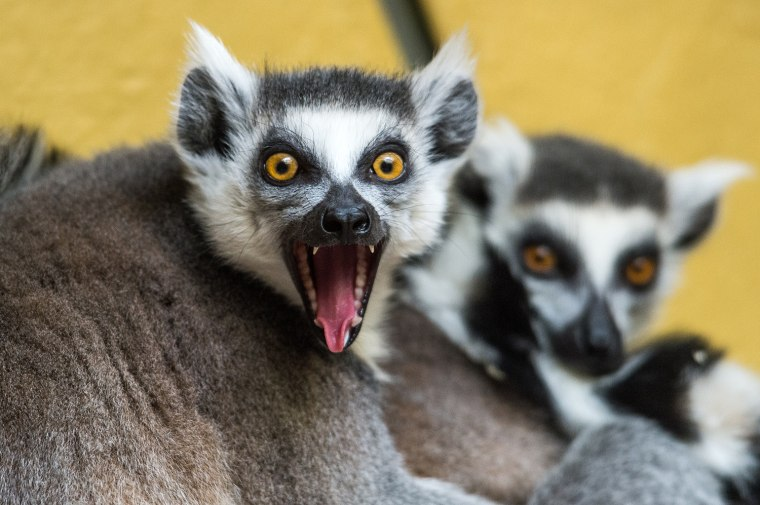 Image: GERMANY-ANIMALS-LEMUR