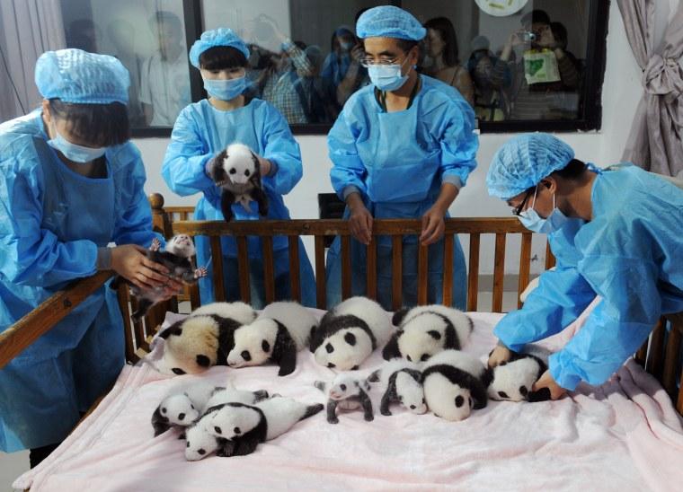 Image: CHINA-ANIMAL-PANDA