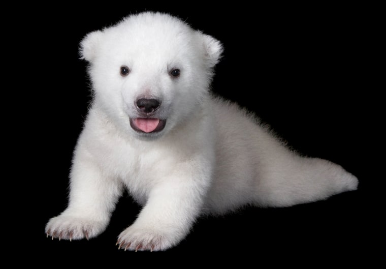 This astonishingly adorable polar bear cub lives at the Buffalo Zoo in Western New York, where zoo officials are shouting a message from the rooftops: Help us keep polar bears in Buffalo!