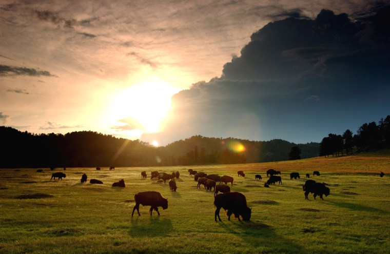 Image: Bison roam the Black Hills of South Dakota