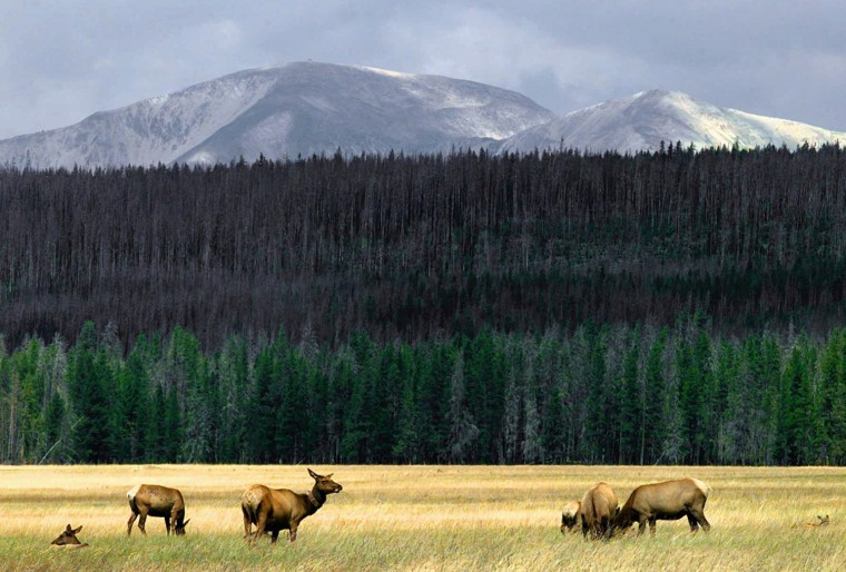 Image: A herd of elk graze in the meadows of Yellowstone National Park