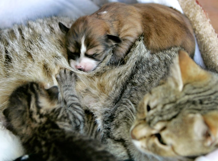 Image: Smaigel the cat nurses her kittens and four puppies at her owner Mohammad Al-Hamoury's house in Amman