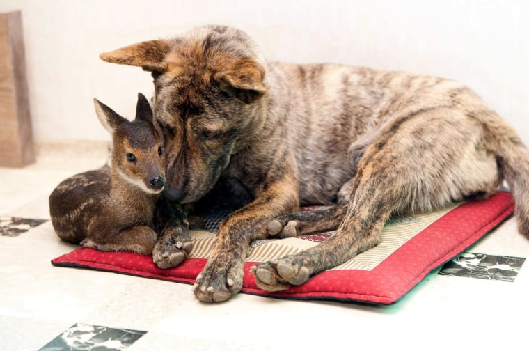 Image: Young elk rescued from a flooding river is adopted by a female dog