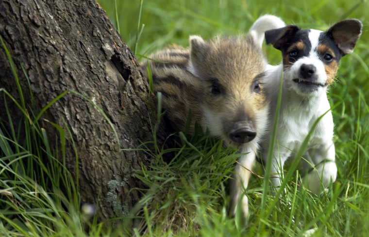 GERMANY-ANIMALS-WILD-BOAR-DOG-OFFBEAT
