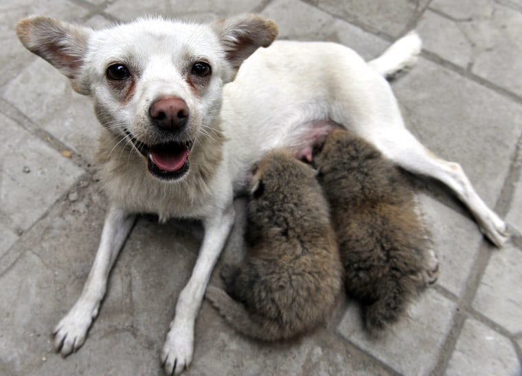 A white dog nurses two red panda cubs in the zoo in Taiyuan in north China's Shanxi province, Wednesday, July 15, 2009. The two red panda cubs, born on June 25, were abandoned by their mother at birth are thriving at a northern China zoo thanks to milk and loving care from an unlikely surrogate mother, the dog, state media reported on Thursday. (AP Photo) ** CHINA OUT **